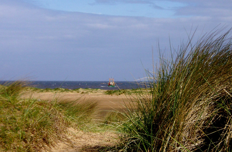 Tufts of marram grass in the sand dunes